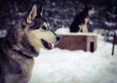Traîneaux à chiens
